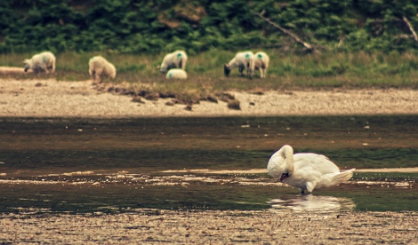 Swan and sheep