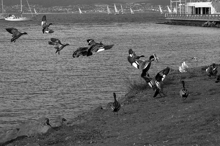This reminded me of those old Harold Edgerton photos showing a series of movements in one picture. This is several different Grebes however.