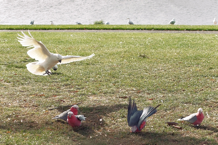The poor Galahs have to give way to their larger cousins. One of them seems to be trying to bury itself in this shot :)