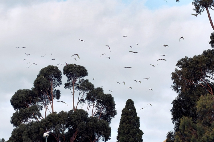 Chaos! The cockatoos came screeching into the area and caused complete havoc amongst the community with birds of all species taking to the sky and sending out shrieking alarm calls.