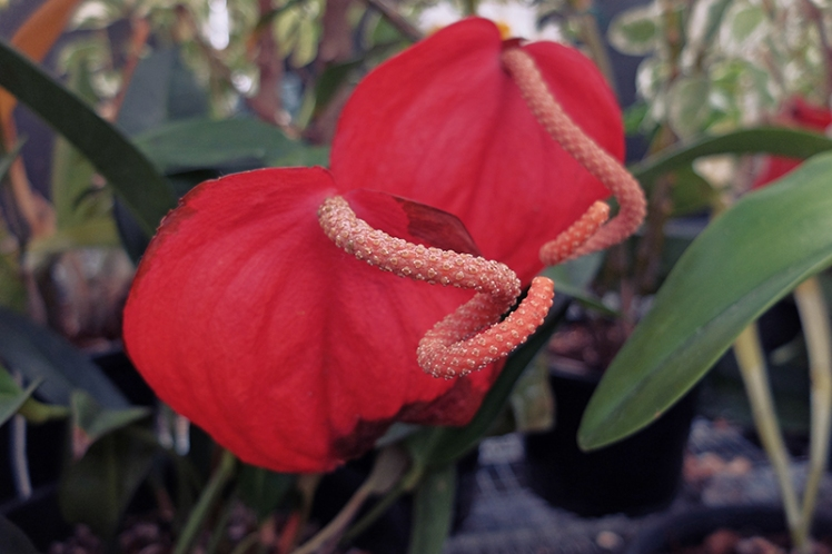 My mum will kill me for not knowing this one as it's one of her favourites. A quick Google reveals it's an Anthurium of some sort.