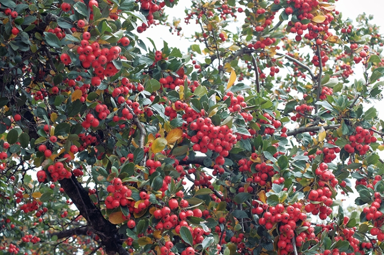 This tree filled with millions of berries was popular with the local birds who hopped from branch to branch enjoying the feast.