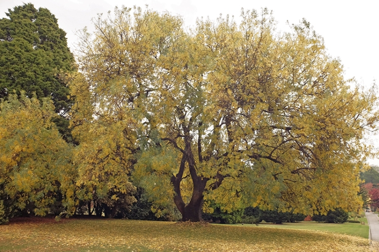 A mighty tree slowly losing its leaf cover turns the grass below into a carpet of yellow.