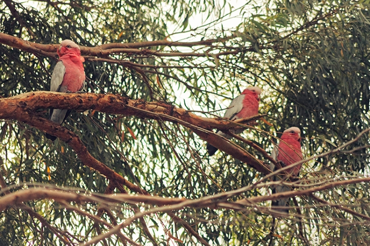 The Galahs like to take shelter in the trees so if you don't see any on the ground, be sure to look up into the branches above you.