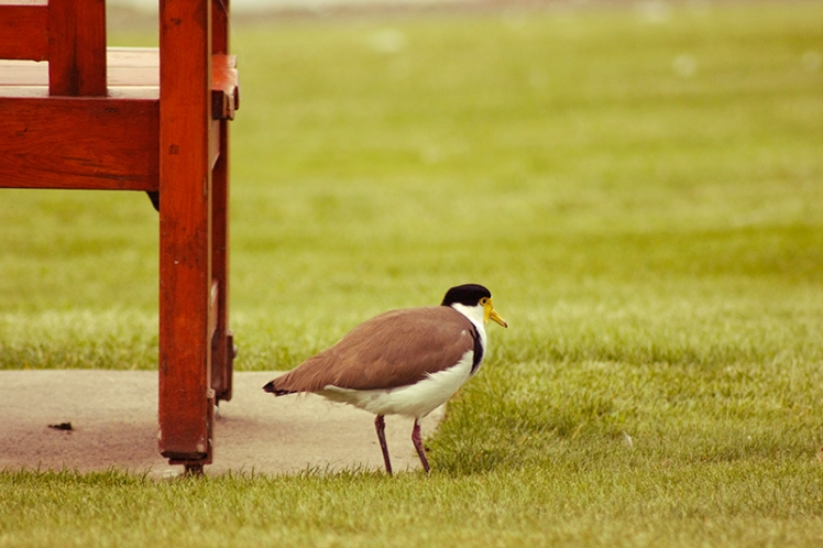 This shy Masked Lapwing likes to hide out by one of  the benches on top of the green. A smart move to avoid the ill-behaved cockatoos on the far side.