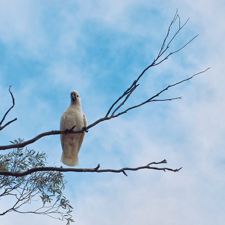 A Cockatoo rests in a tree above the Waterworks reservoir where the cockatoos from Sandy Bay retire to in the evenings.