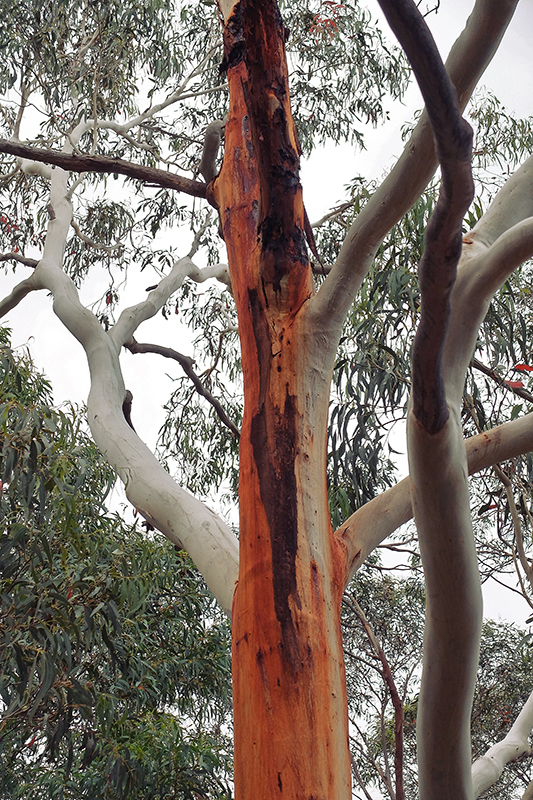 A Eucalyptus tree does its best Irish flag impression.