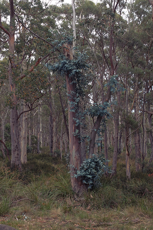 The dominant Eucalyptus trees rarely have any competition up here.