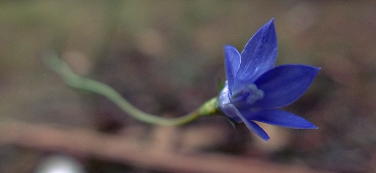 A Royal Blue bell adds a splash of colour to the undergrowth.