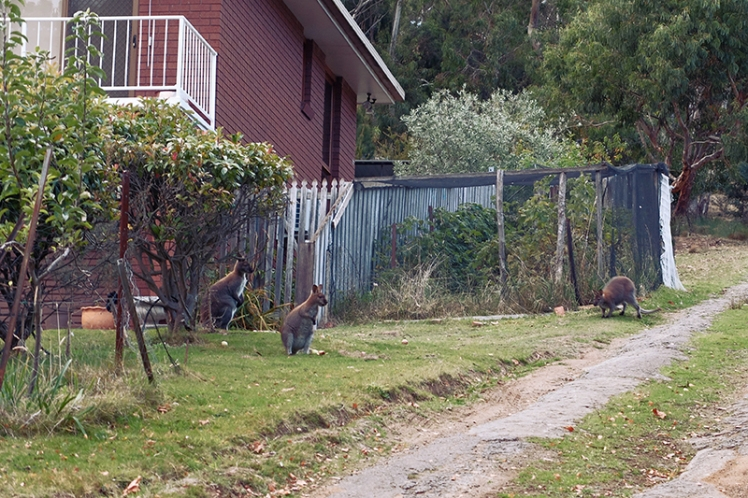 This chap's garden was rather popular with these wallabies.