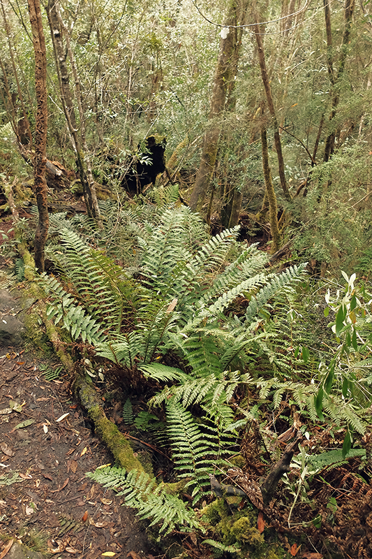 Some of the ferns are quite large, albeit not quite as impressive as those on Mount Wellington.