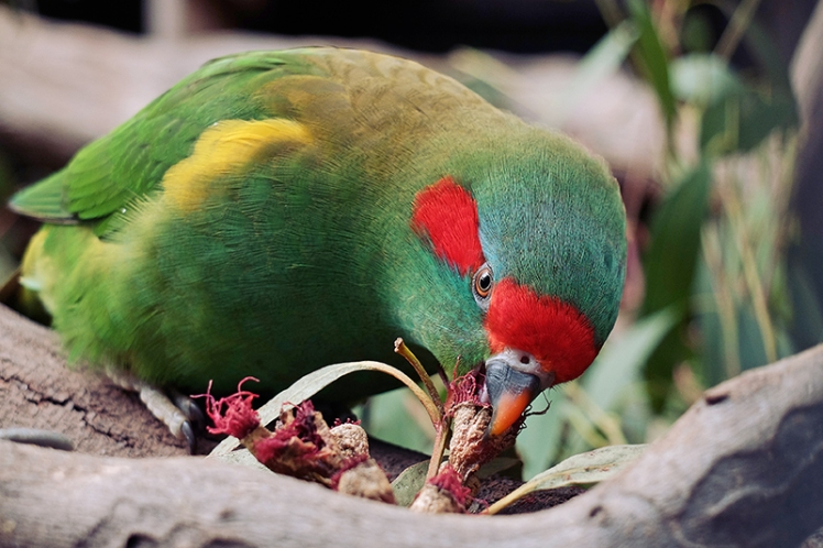 A stunningly colourful Lorikeet enjoying a snack.