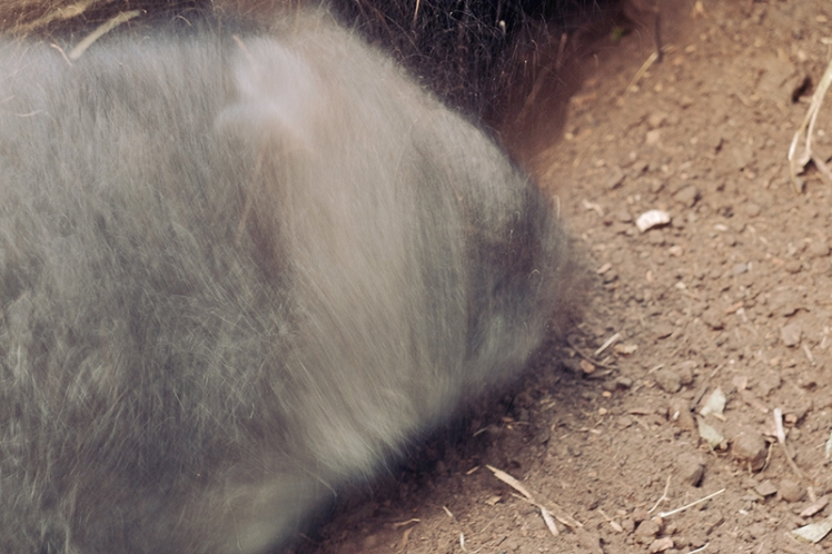 Another wombat shakes the dirt off itself after having a good dig under a tree.