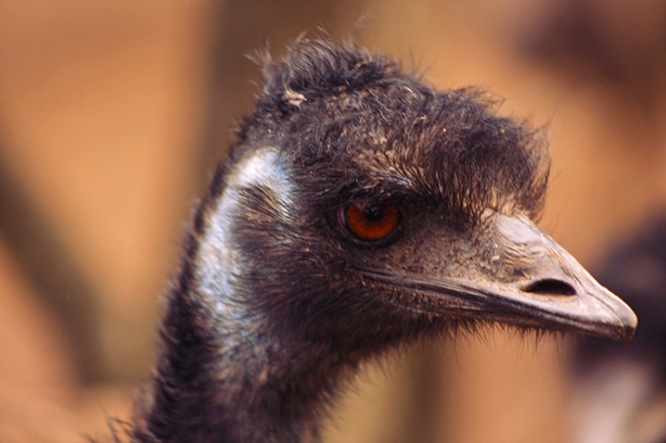 One of the Emus on the prowl for num nums