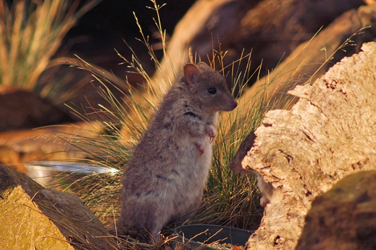 A Potoroo stops briefly before tearing off again after its friends/enemies.